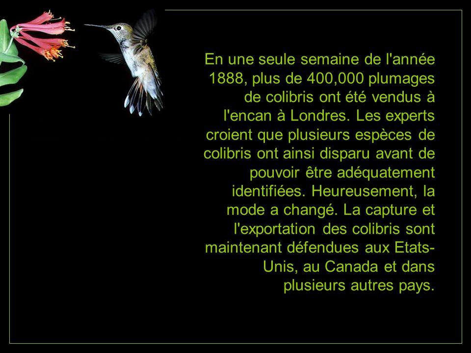 En une seule semaine de l année 1888, plus de 400,000 plumages de colibris ont été vendus à l encan à Londres.