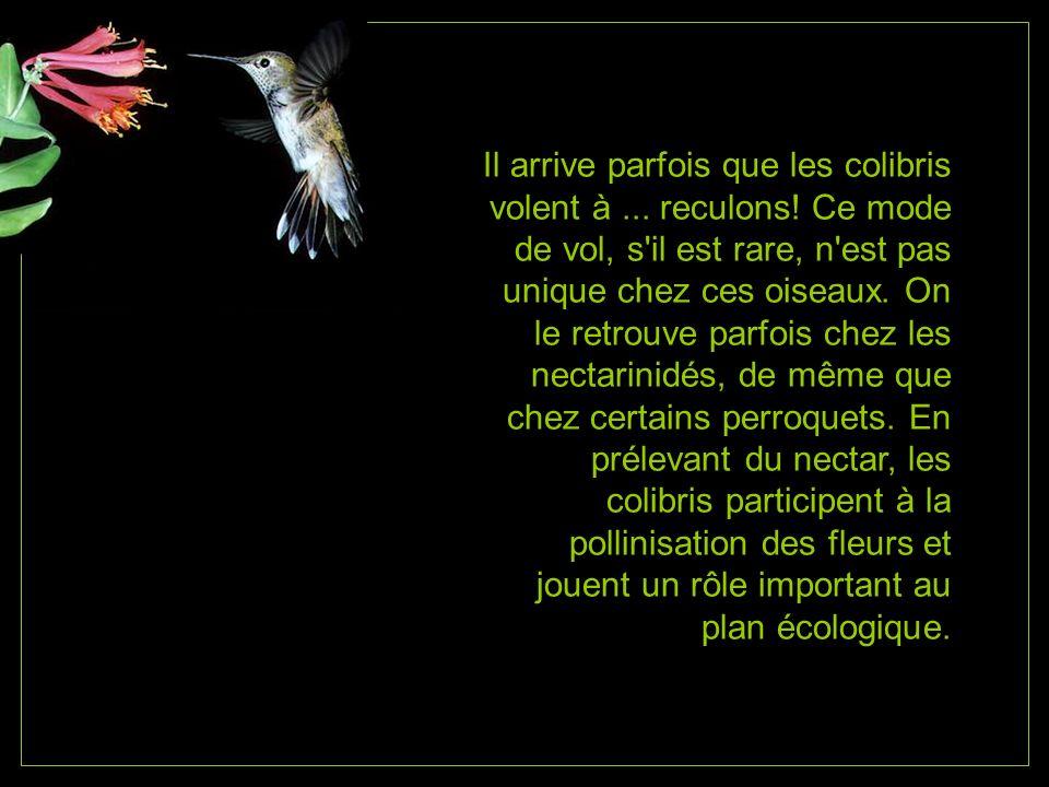Il arrive parfois que les colibris volent à. reculons