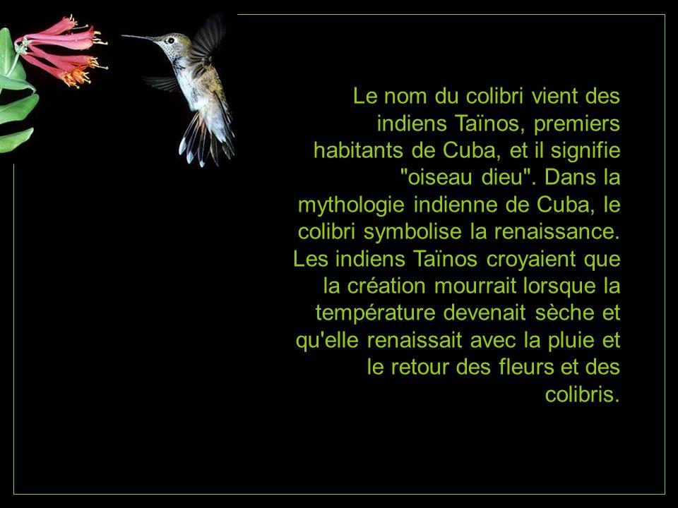 Le nom du colibri vient des indiens Taïnos, premiers habitants de Cuba, et il signifie oiseau dieu .