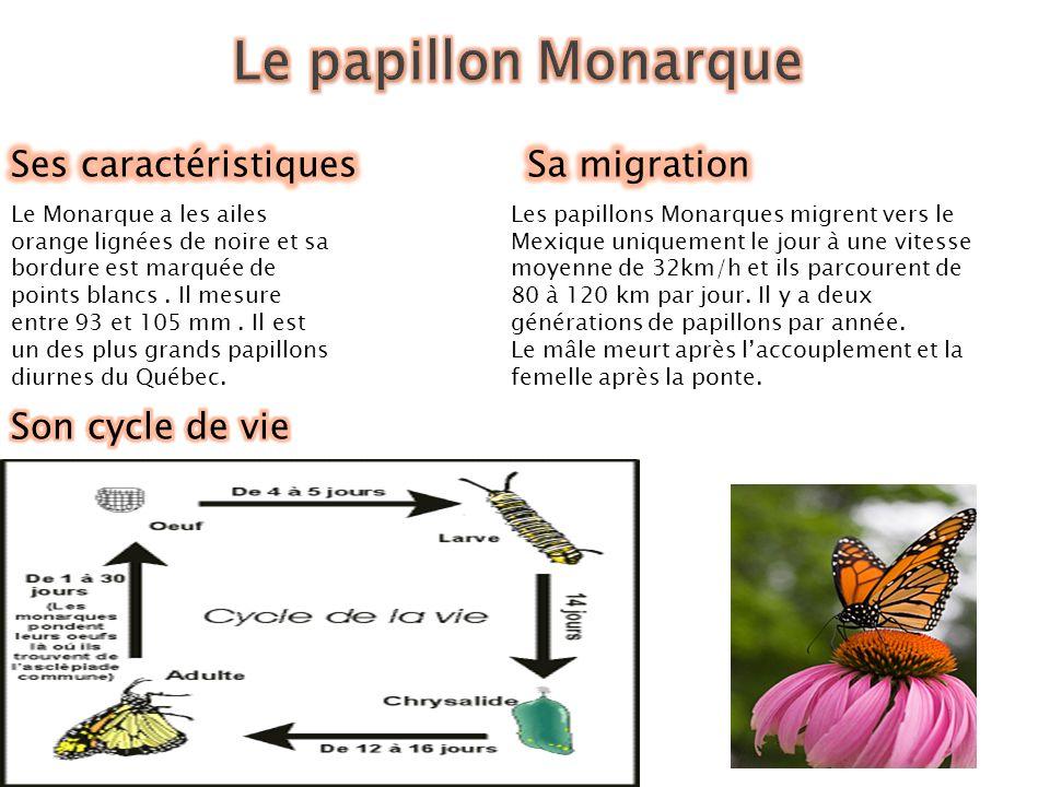 Le papillon Monarque Ses caractéristiques Sa migration
