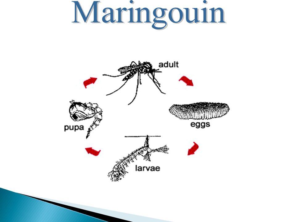 Maringouin