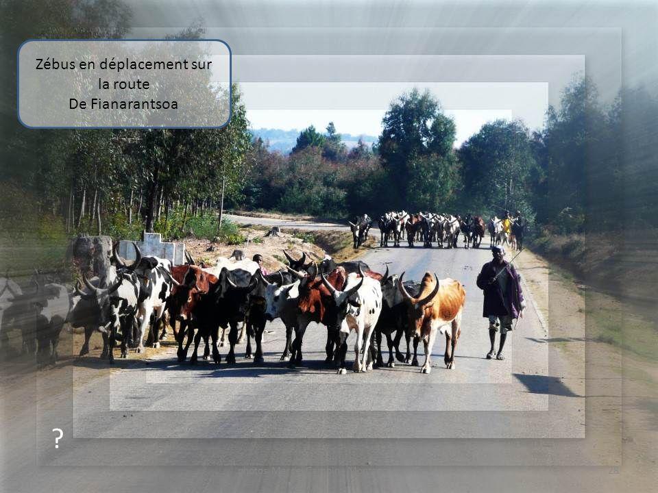 Zébus en déplacement sur la route De Fianarantsoa