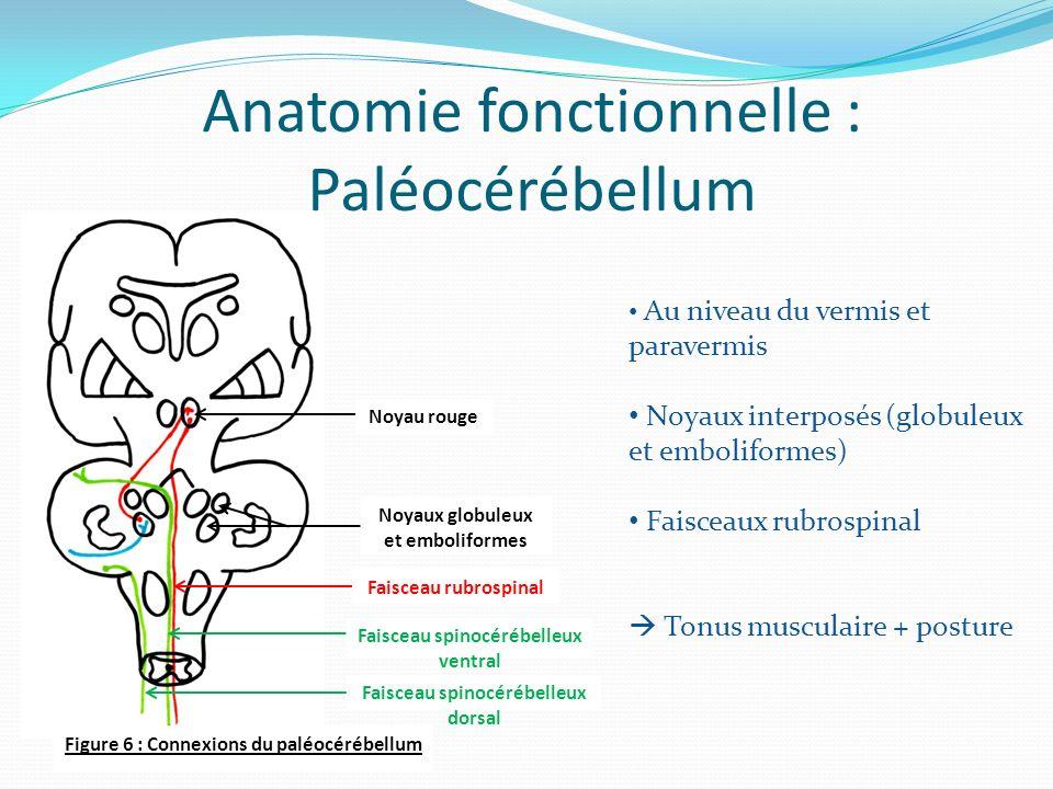 Anatomie fonctionnelle : Paléocérébellum