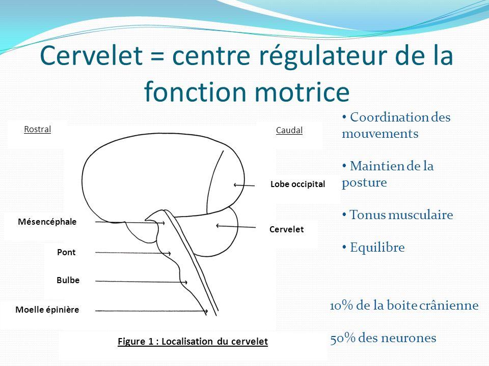 Cervelet = centre régulateur de la fonction motrice
