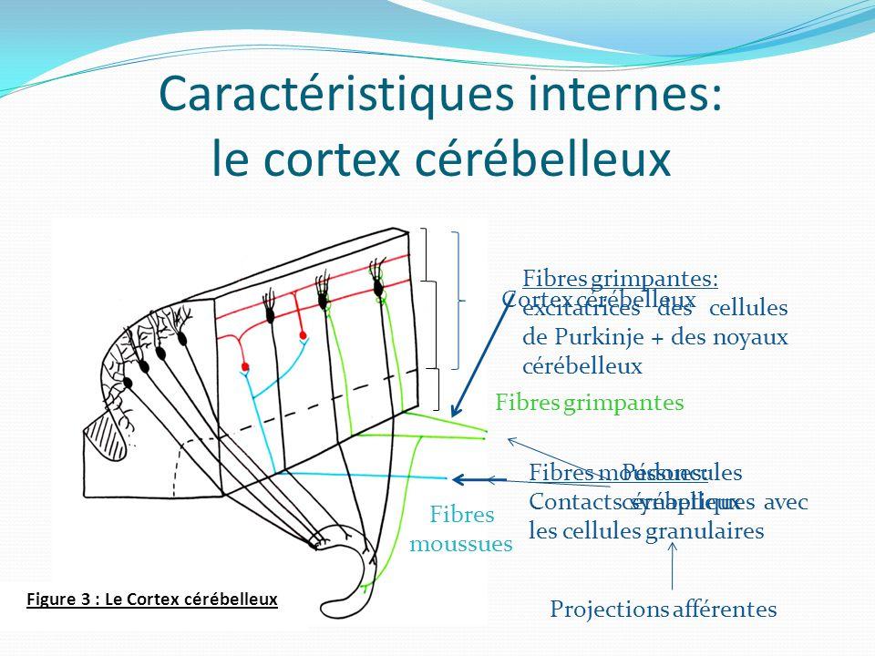 Caractéristiques internes: le cortex cérébelleux