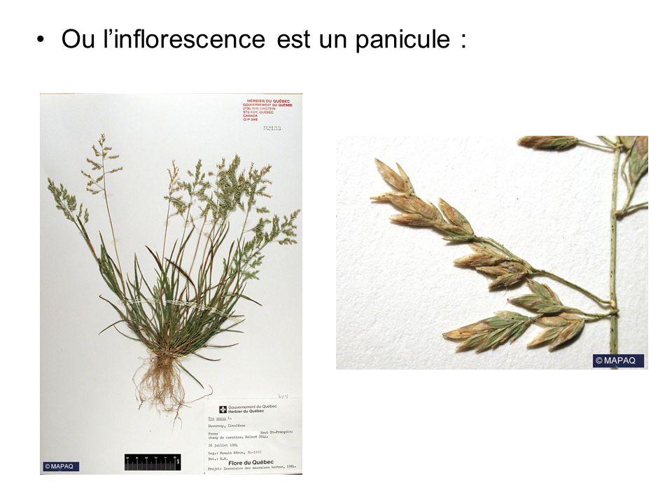 Ou l'inflorescence est un panicule :