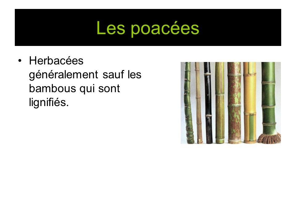 Les poacées Herbacées généralement sauf les bambous qui sont lignifiés.