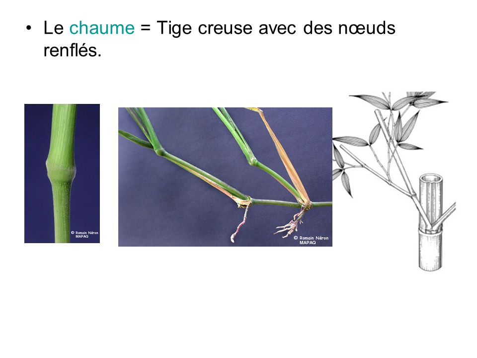 Le chaume = Tige creuse avec des nœuds renflés.