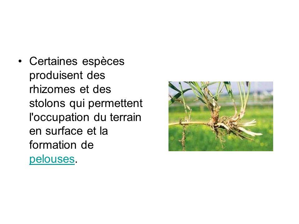 Certaines espèces produisent des rhizomes et des stolons qui permettent l occupation du terrain en surface et la formation de pelouses.