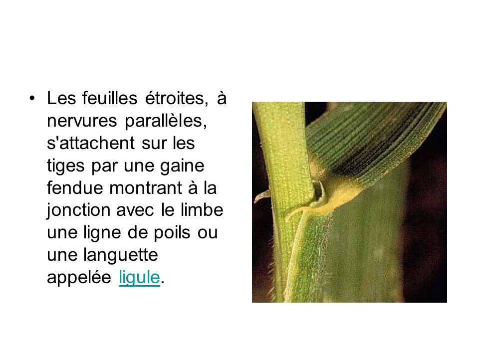 Les feuilles étroites, à nervures parallèles, s attachent sur les tiges par une gaine fendue montrant à la jonction avec le limbe une ligne de poils ou une languette appelée ligule.