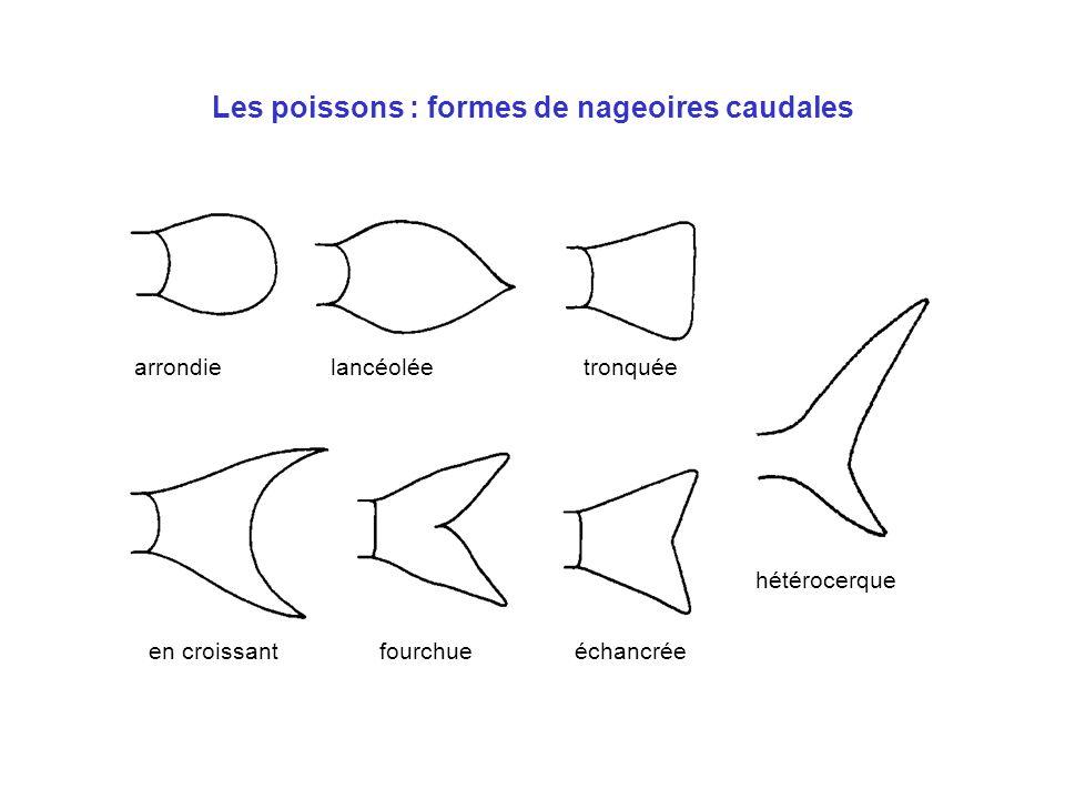 Les poissons : formes de nageoires caudales