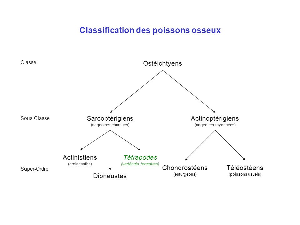 Classification des poissons osseux