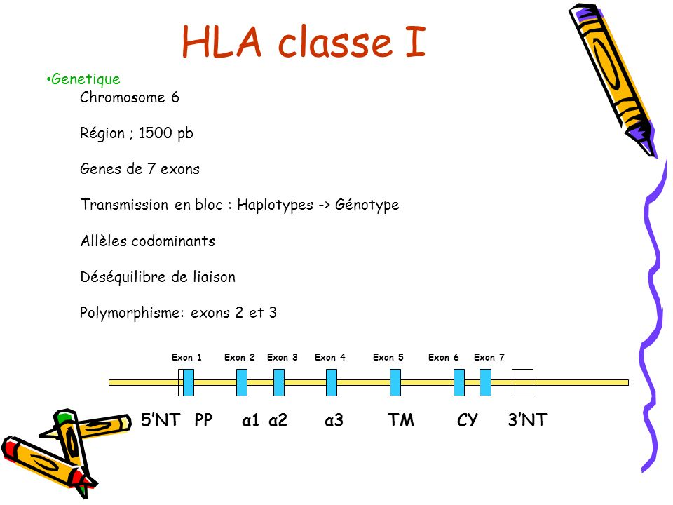 HLA classe I 5'NT PP α1 α2 α3 TM CY 3'NT •Genetique Chromosome 6