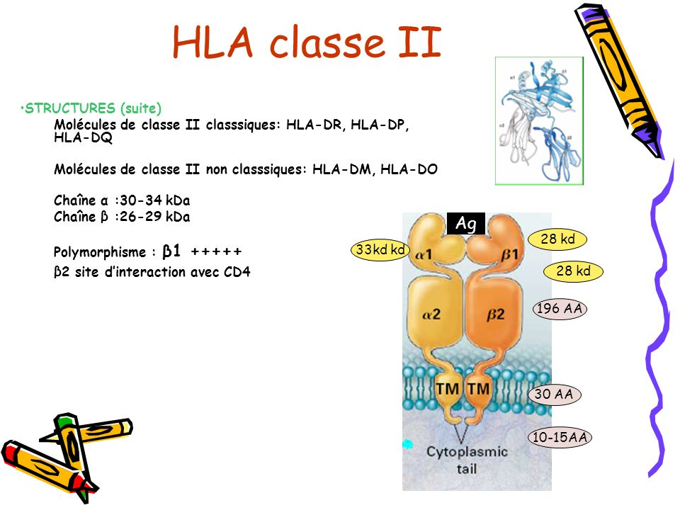 HLA classe II Ag STRUCTURES (suite)