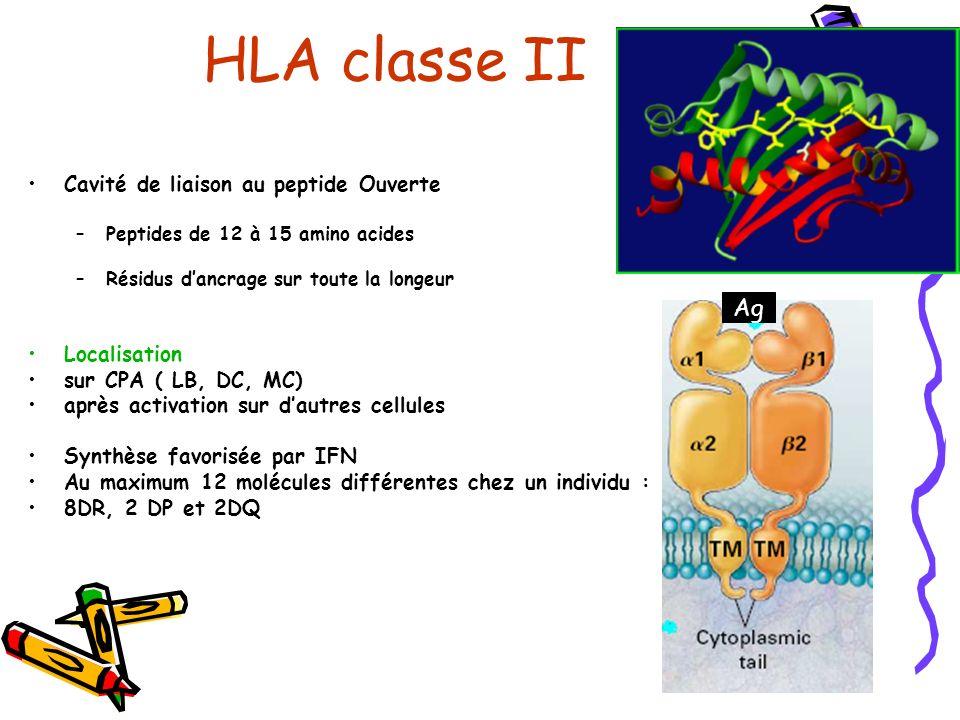 HLA classe II Ag Cavité de liaison au peptide Ouverte Localisation