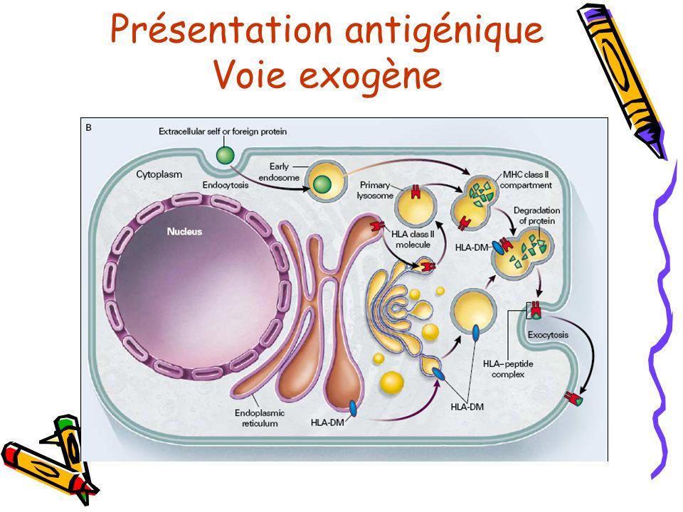 Présentation antigénique Voie exogène
