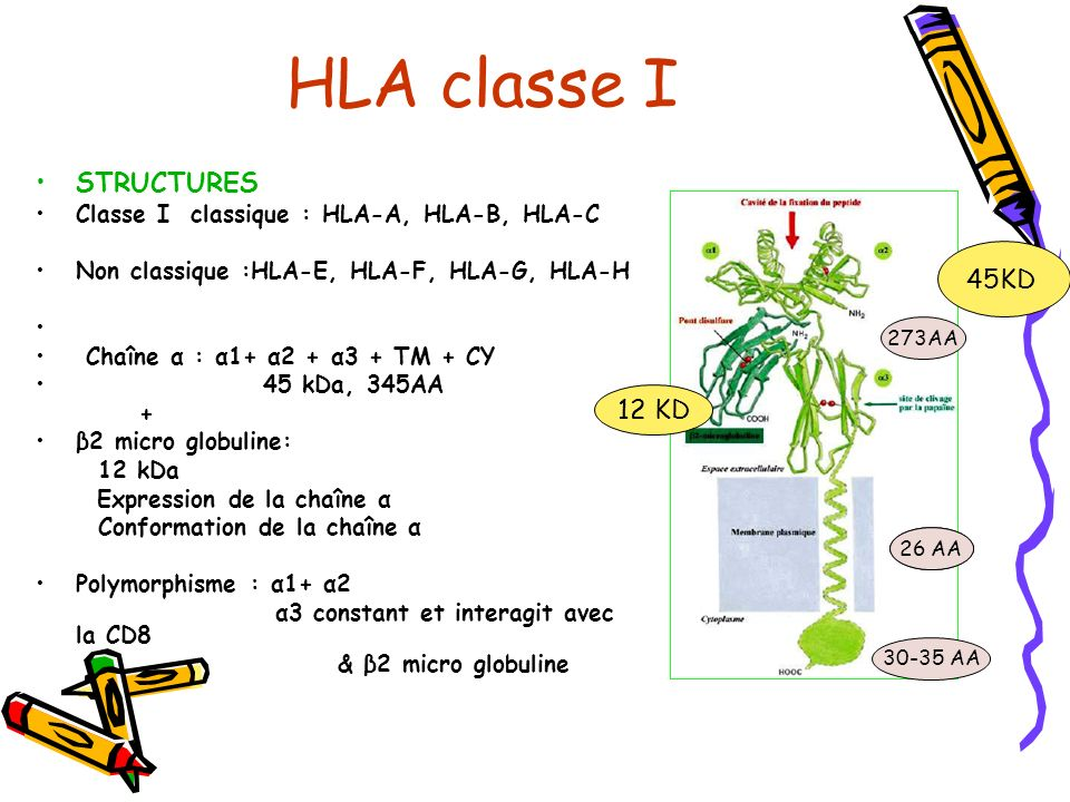 HLA classe I STRUCTURES 45KD 12 KD