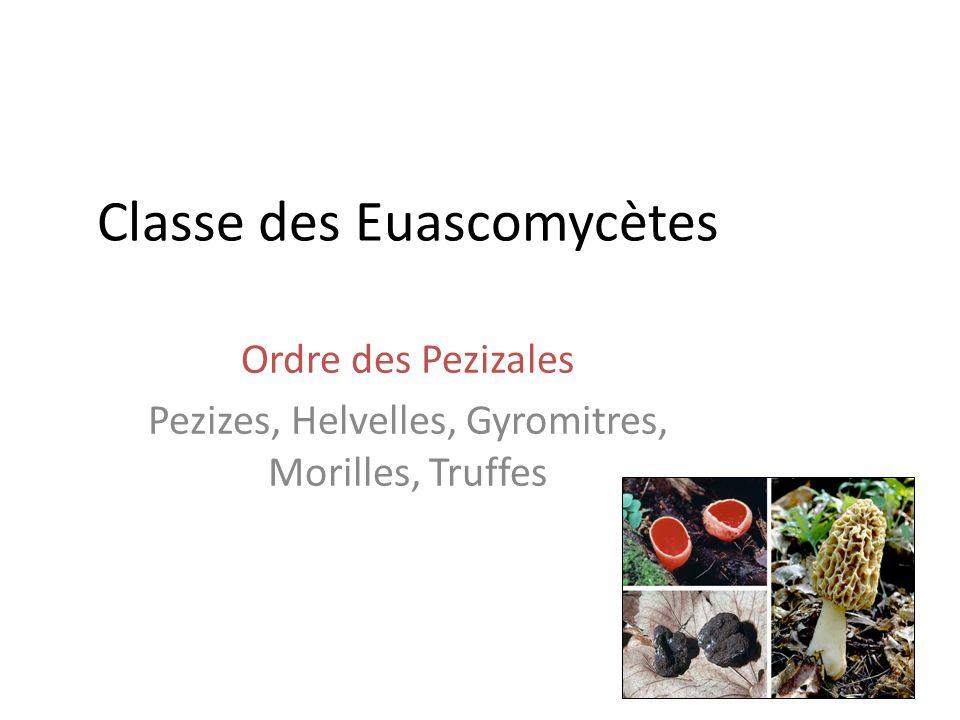 Classe des Euascomycètes
