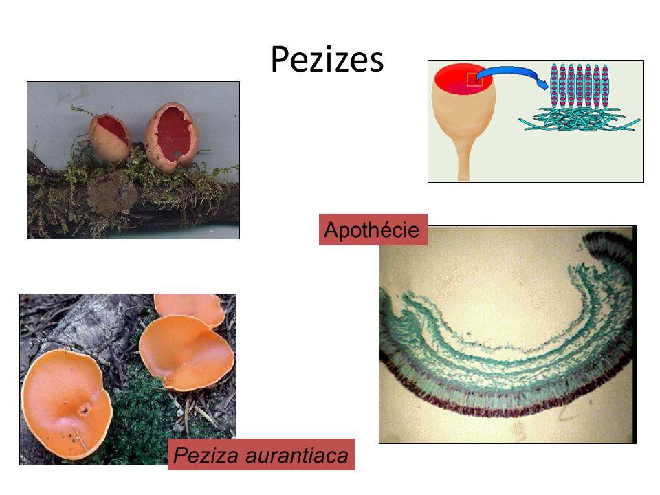 Pezizes Apothécie Peziza aurantiaca