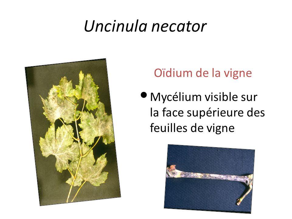 Uncinula necator Oïdium de la vigne