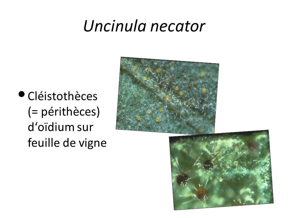 Uncinula necator Cléistothèces (= périthèces) d'oïdium sur feuille de vigne