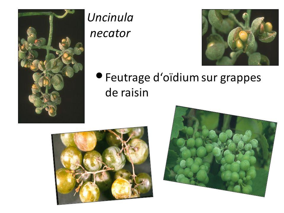 Uncinula necator Feutrage d'oïdium sur grappes de raisin