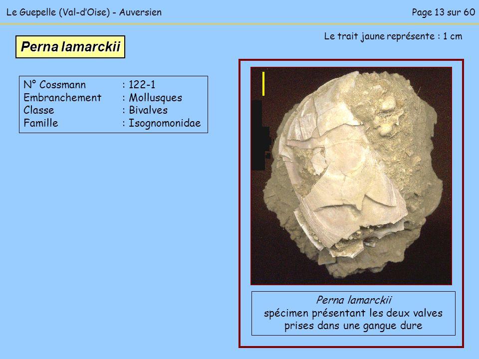 Perna lamarckii N° Cossmann : 122-1 Embranchement : Mollusques