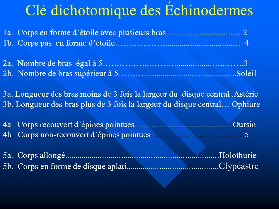 Clé dichotomique des Échinodermes