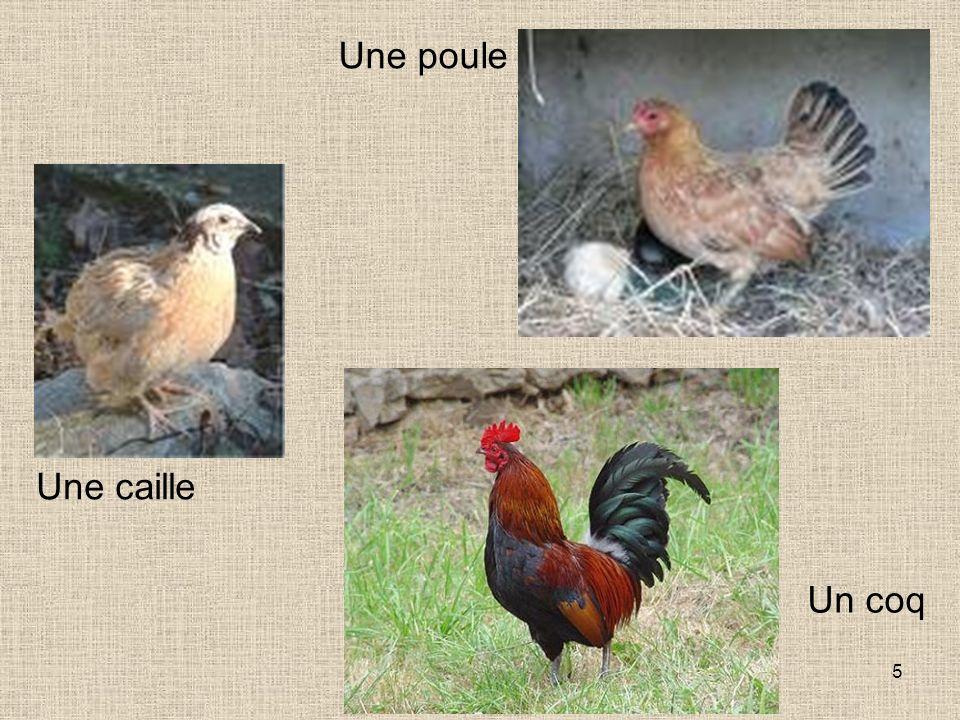 Une poule Une caille Un coq