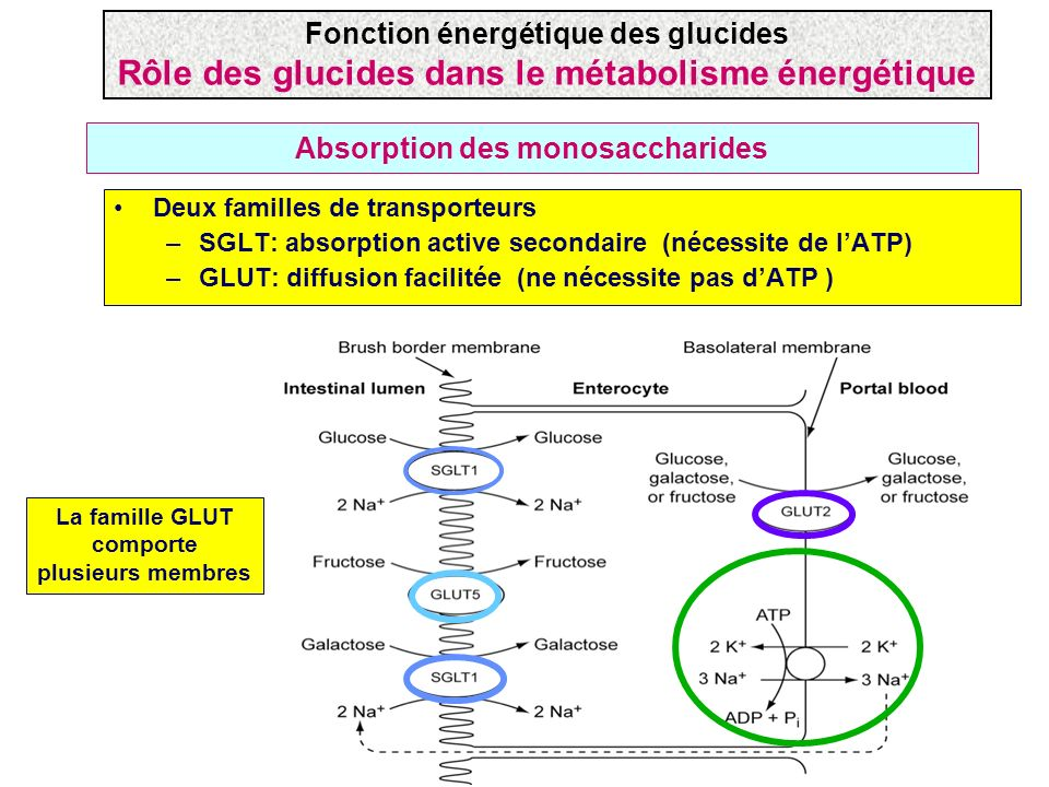 Absorption des monosaccharides