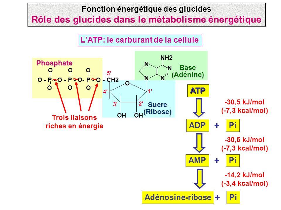    Rôle des glucides dans le métabolisme énergétique + + +