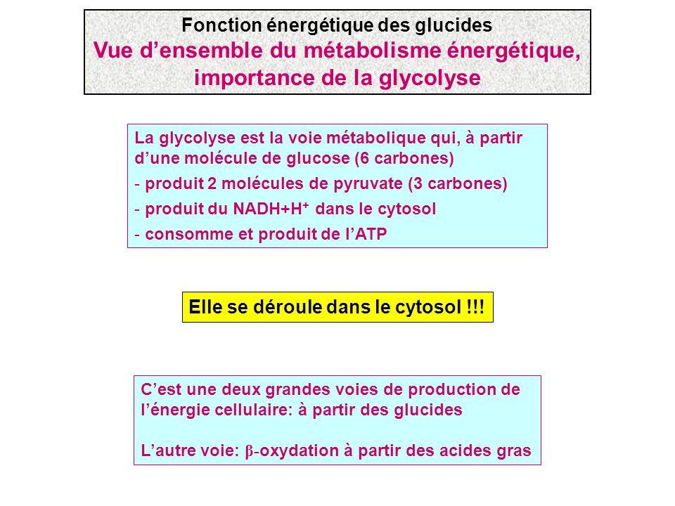 Vue d'ensemble du métabolisme énergétique, importance de la glycolyse
