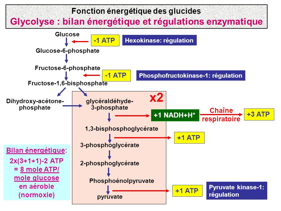 x2 Glycolyse : bilan énergétique et régulations enzymatique
