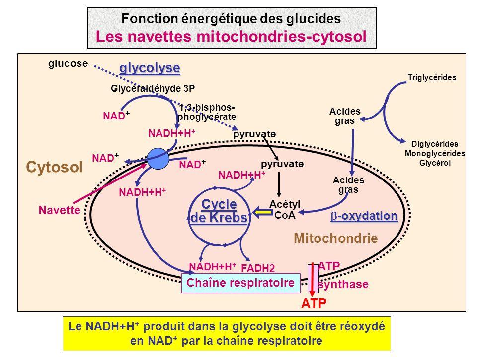 Fonction énergétique des glucides Les navettes mitochondries-cytosol