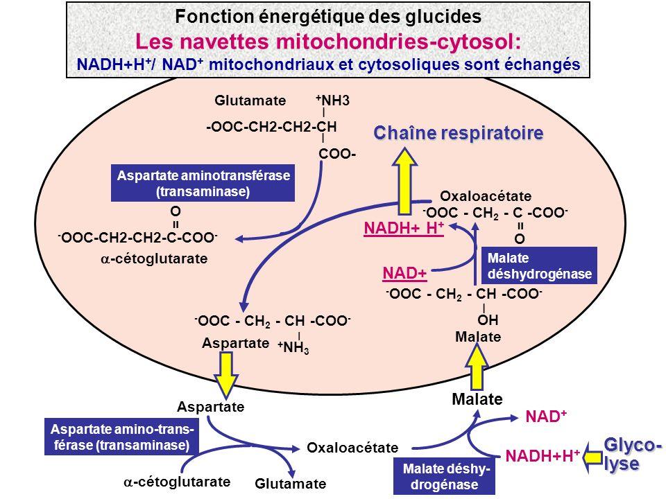 Fonction énergétique des glucides