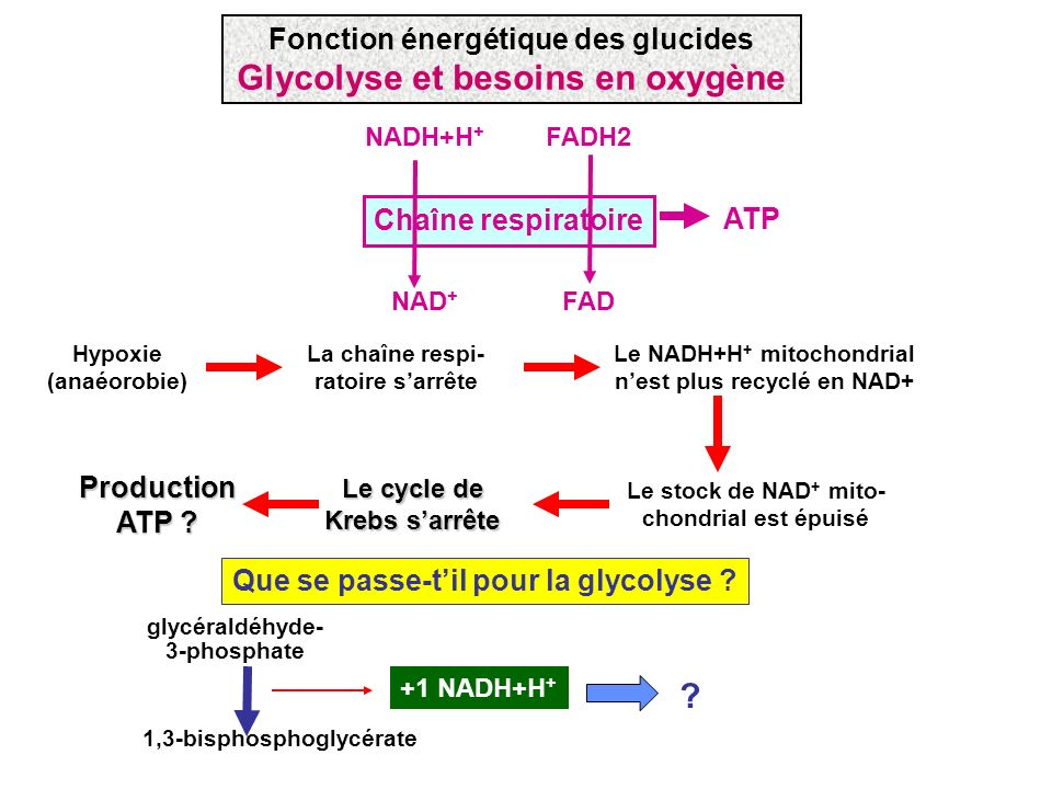 Fonction énergétique des glucides Glycolyse et besoins en oxygène
