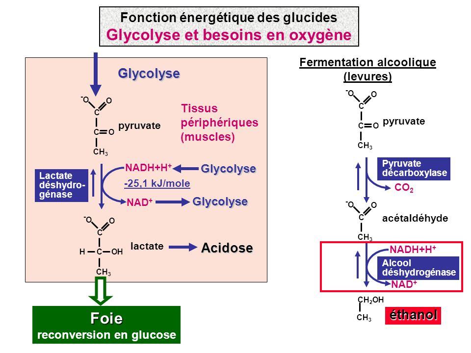 Glycolyse et besoins en oxygène Foie reconversion en glucose