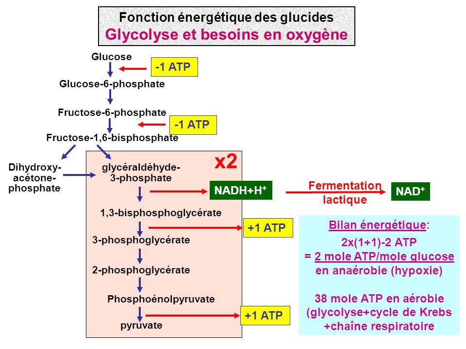 x2 Glycolyse et besoins en oxygène Fonction énergétique des glucides