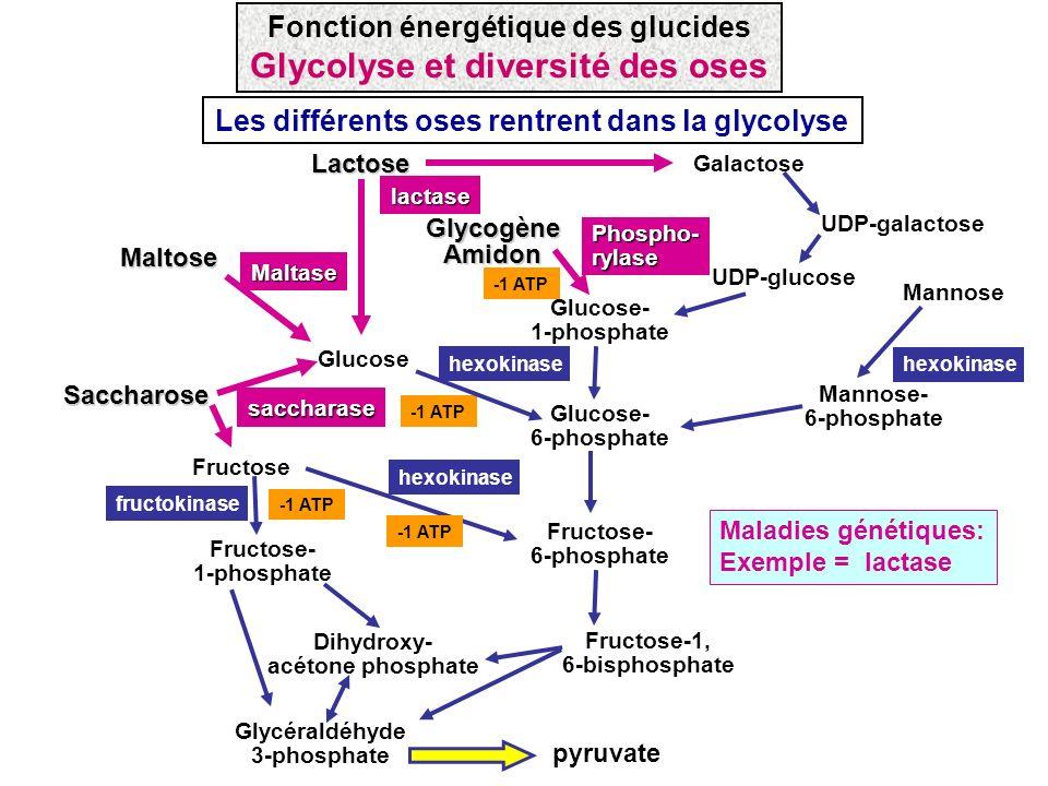 Glycolyse et diversité des oses