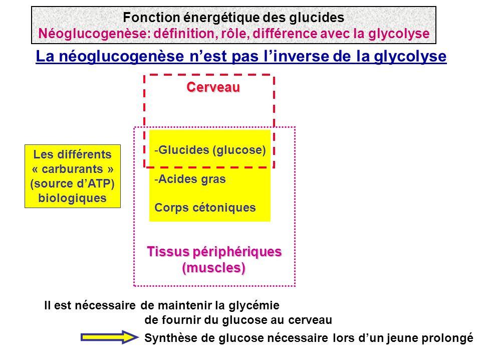 La néoglucogenèse n'est pas l'inverse de la glycolyse