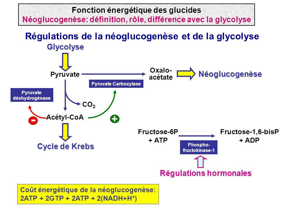- + Régulations de la néoglucogenèse et de la glycolyse