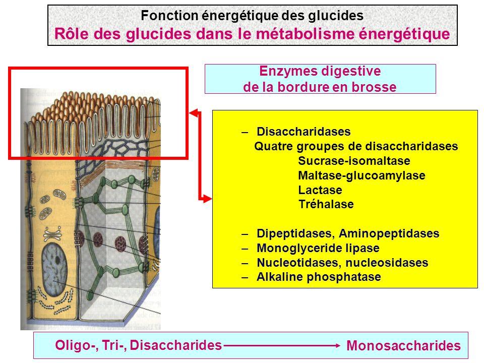Enzymes digestive de la bordure en brosse