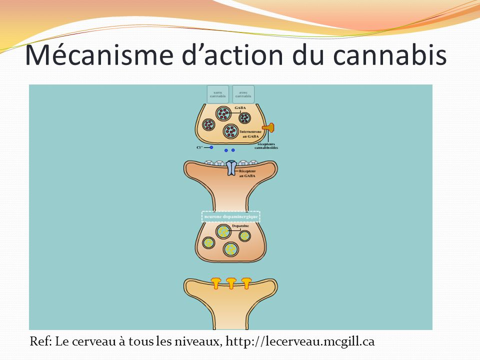 Mécanisme d'action du cannabis
