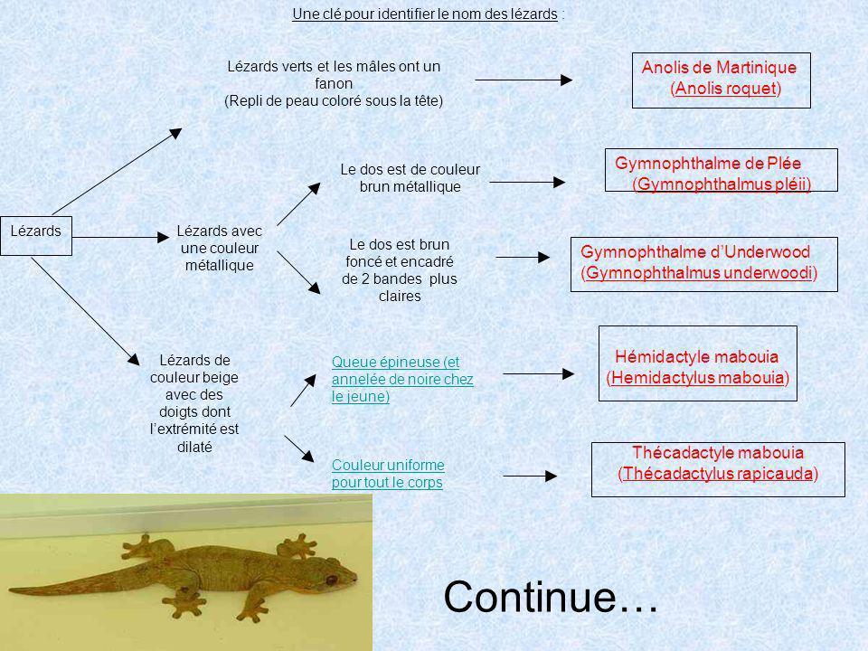 Continue… Anolis de Martinique (Anolis roquet) Gymnophthalme de Plée