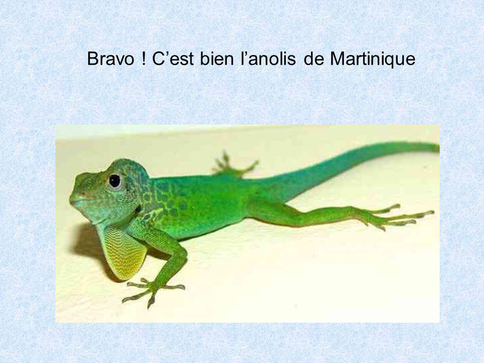 Bravo ! C'est bien l'anolis de Martinique