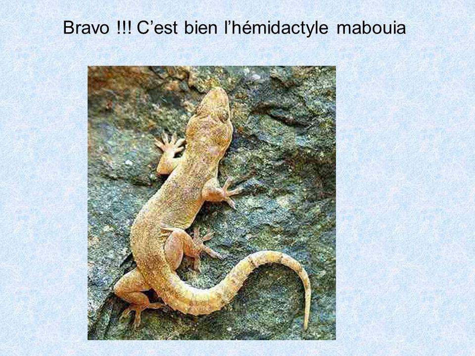 Bravo !!! C'est bien l'hémidactyle mabouia