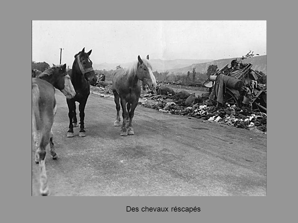 Des chevaux réscapés
