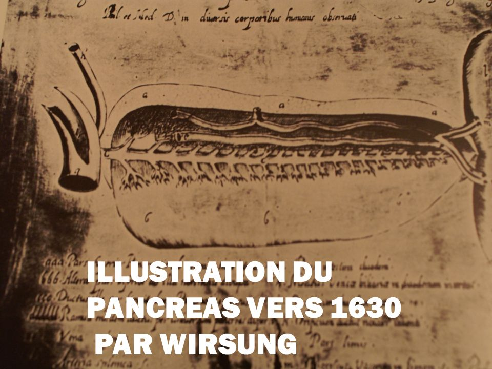 ILLUSTRATION DU PANCREAS VERS 1630 PAR WIRSUNG