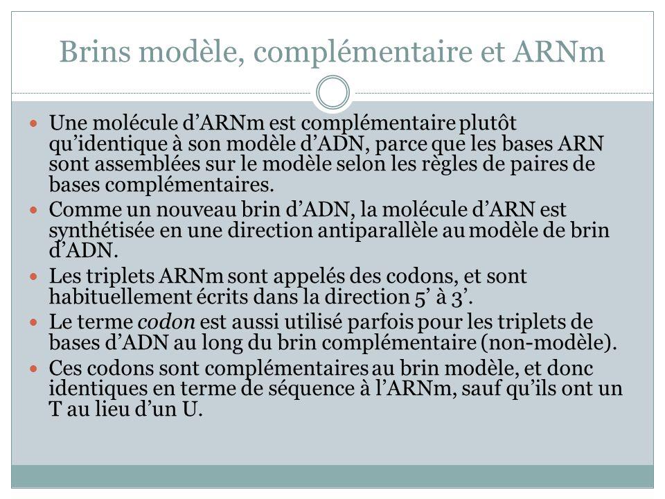 Brins modèle, complémentaire et ARNm