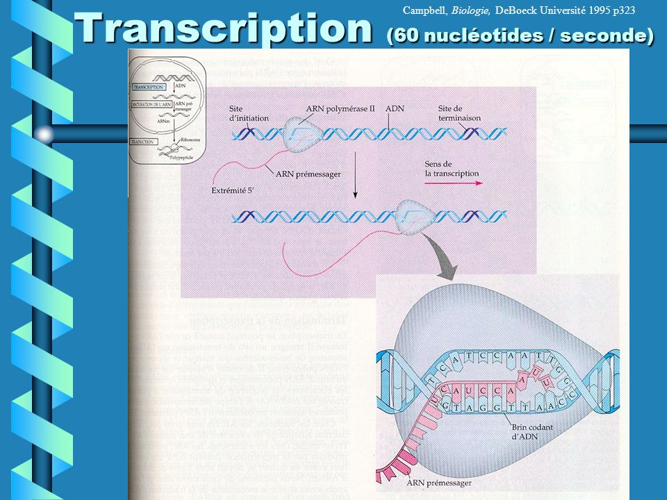 Transcription (60 nucléotides / seconde)